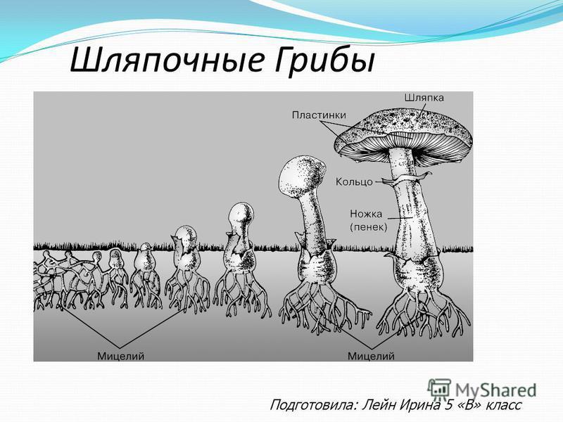 Шляпочные Грибы Подготовила: Лейн Ирина 5 «В» класс