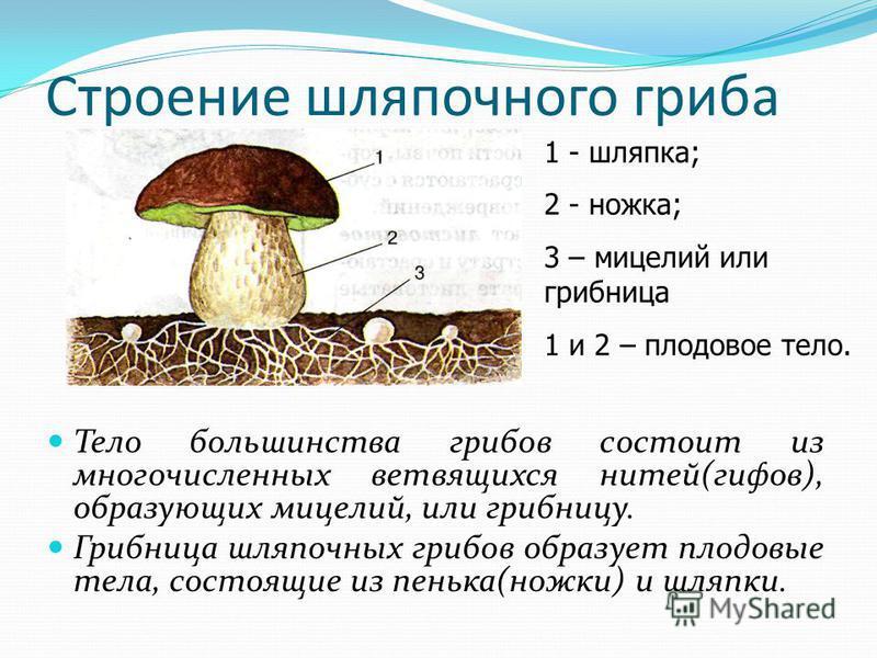 Строение шляпочного гриба Тело большинства грибов состоит из многочисленных ветвящихся нитей(гифов), образующих мицелий, или грибницу. Грибница шляпочных грибов образует плодовые тела, состоящие из пенька(ножки) и шляпки. 1 - шляпка; 2 - ножка; 3 – м