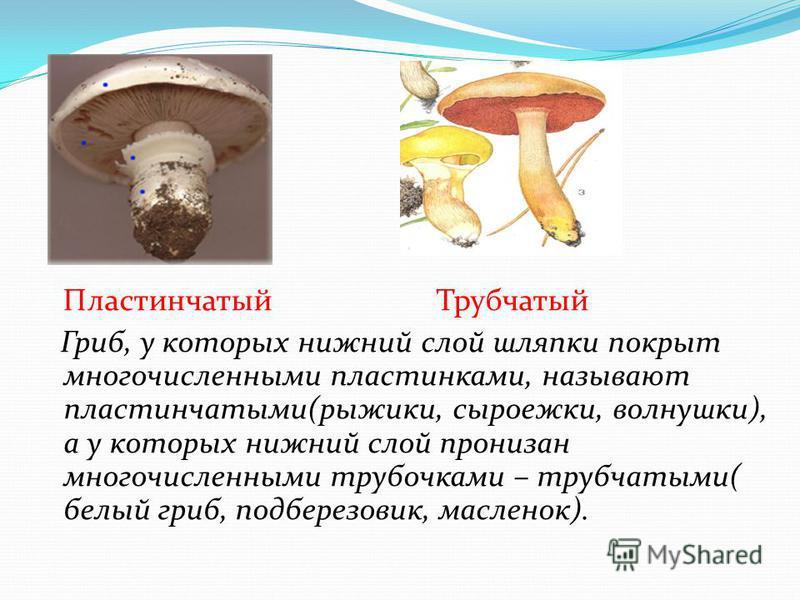 Пластинчатый Трубчатый Гриб, у которых нижний слой шляпки покрыт многочисленными пластинками, называют пластинчатыми(рыжики, сыроежки, волнушки), а у которых нижний слой пронизан многочисленными трубочками – трубчатыми( белый гриб, подберезовик, масл