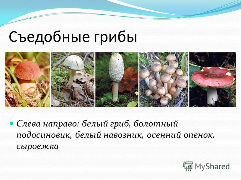 Съедобные грибы Слева направо: белый гриб, болотный подосиновик, белый навозник, осенний опенок, сыроежка