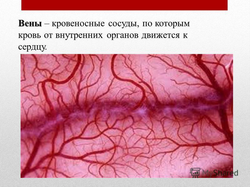 Вены Вены – кровеносные сосуды, по которым кровь от внутренних органов движется к сердцу.