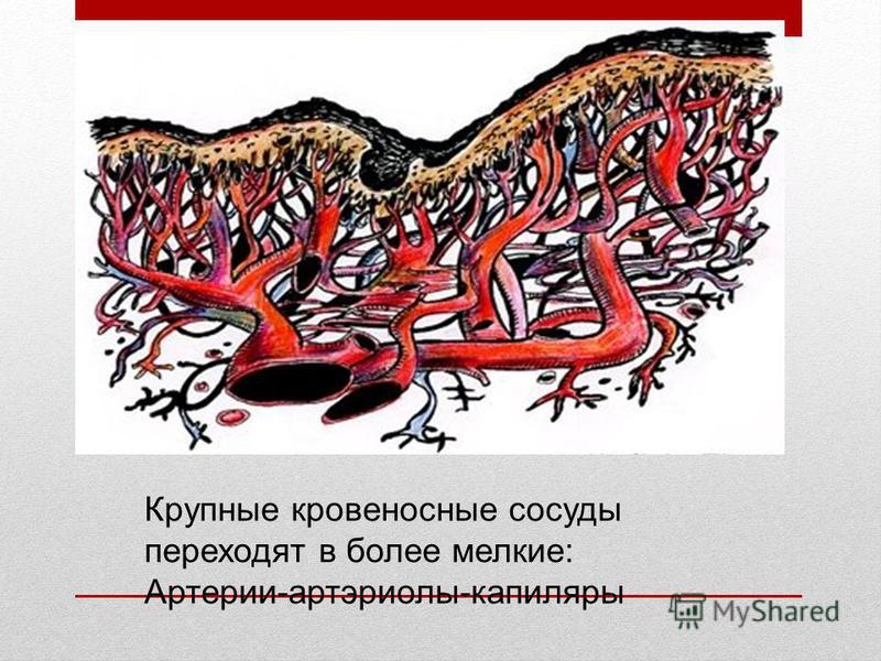 Крупные кровеносные сосуды переходят в более мелкие: Артерии-артериолы-капилляры