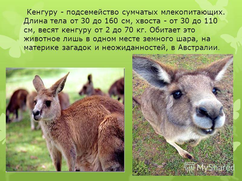 Кенгуру - подсемейство сумчатых млекопитающих. Длина тела от 30 до 160 см, хвоста - от 30 до 110 см, весят кенгуру от 2 до 70 кг. Обитает это животное лишь в одном месте земного шара, на материке загадок и неожиданностей, в Австралии.