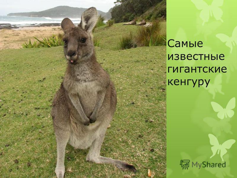 Самые известные гигантские кенгуру