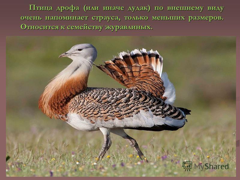 Птица дрофа (или иначе дудак) по внешнему виду очень напоминает страуса, только меньших размеров. Относится к семейству журавлиных.