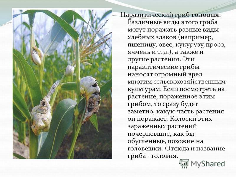 Паразитический гриб головня. Различные виды этого гриба могут поражать разные виды хлебных злаков (например, пшеницу, овес, кукурузу, просо, ячмень и т. д.), а также и другие растения. Эти паразитические грибы наносят огромный вред многим сельскохозя