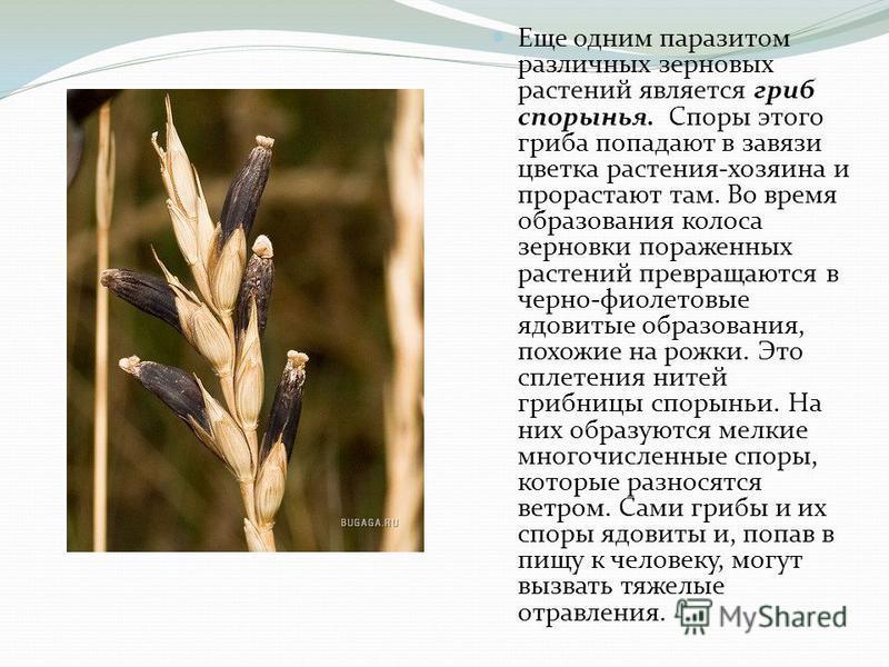 Еще одним паразитом различных зерновых растений является гриб спорынья. Споры этого гриба попадают в завязи цветка растения-хозяина и прорастают там. Во время образования колоса зерновки пораженных растений превращаются в черно-фиолетовые ядовитые об