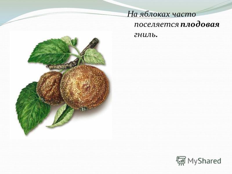 На яблоках часто поселяется плодовая гниль.