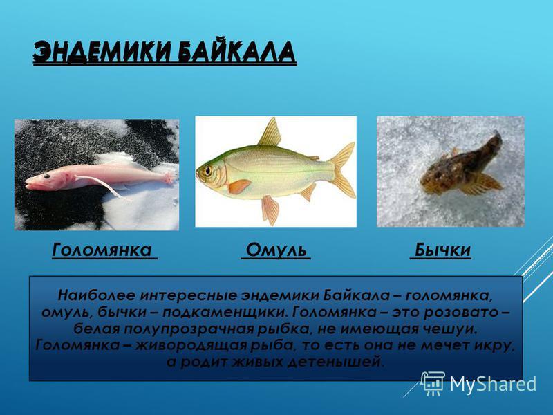 ЭНДЕМИКИ БАЙКАЛА Голомянка Омуль Бычки ЭНДЕМИКИ БАЙКАЛА Наиболее интересные эндемики Байкала – голомянка, омуль, бычки – подкаменщики. Голомянка – это розовато – белая полупрозрачная рыбка, не имеющая чешуи. Голомянка – живородящая рыба, то есть она