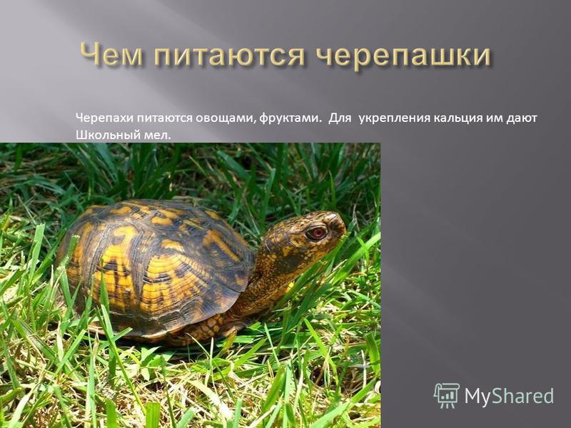 Черепахи питаются овощами, фруктами. Для укрепления кальция им дают Школьный мел.