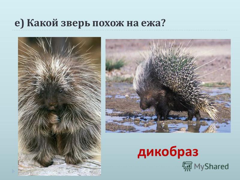 е ) Какой зверь похож на ежа ? дикобраз