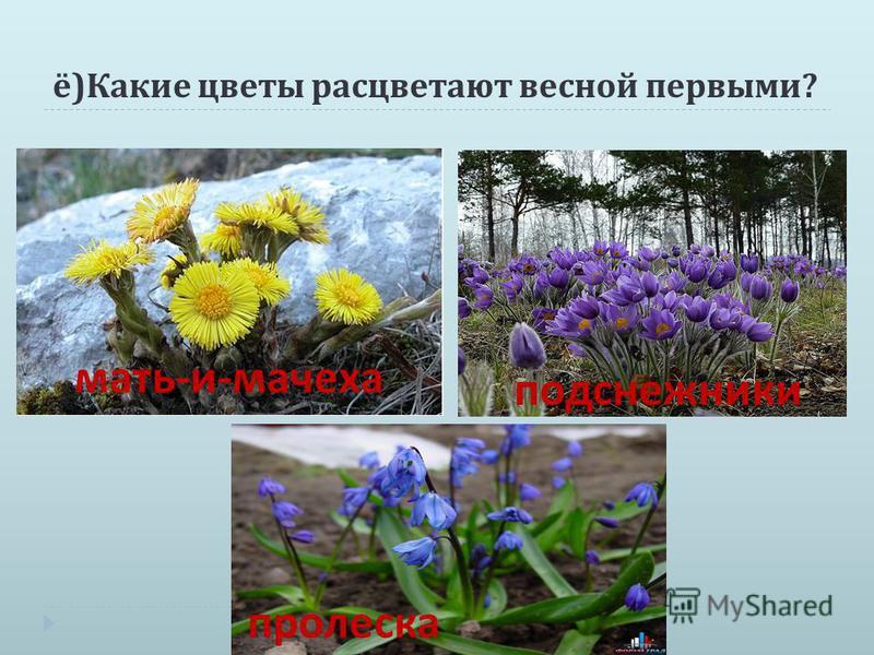 ё ) Какие цветы расцветают весной первыми ? мать-и-мачеха подснежники пролеска подснежники