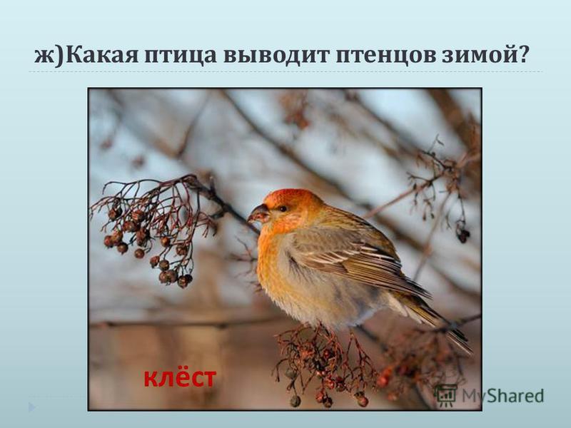 ж ) Какая птица выводит птенцов зимой ? клёст