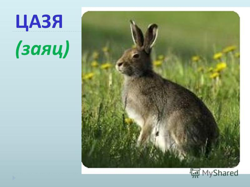 ЦАЗЯ ( заяц )