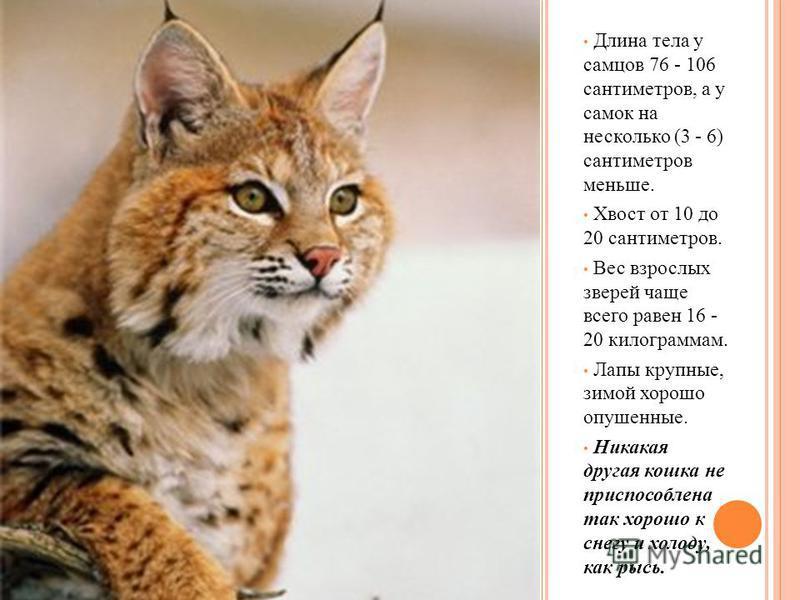 Длина тела у самцов 76 - 106 сантиметров, а у самок на несколько (3 - 6) сантиметров меньше. Хвост от 10 до 20 сантиметров. Вес взрослых зверей чаще всего равен 16 - 20 килограммам. Лапы крупные, зимой хорошо опушенные. Никакая другая кошка не приспо