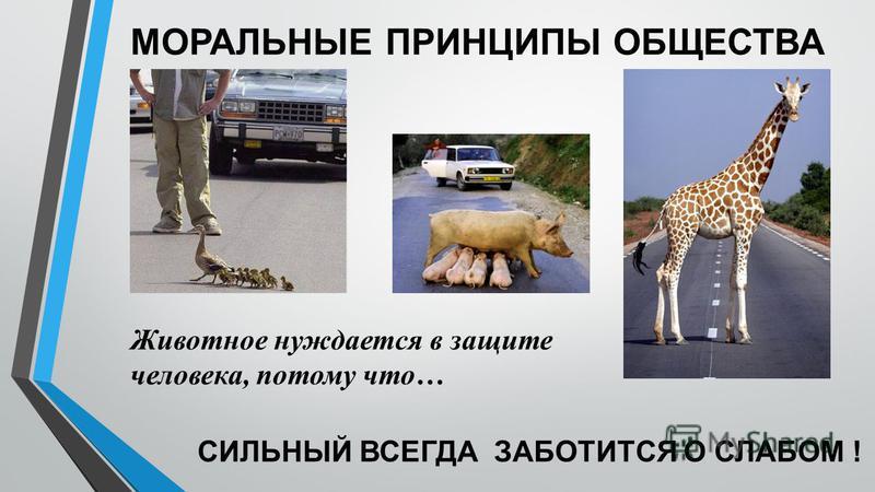 МОРАЛЬНЫЕ ПРИНЦИПЫ ОБЩЕСТВА Животное нуждается в защите человека, потому что… СИЛЬНЫЙ ВСЕГДА ЗАБОТИТСЯ О СЛАБОМ !