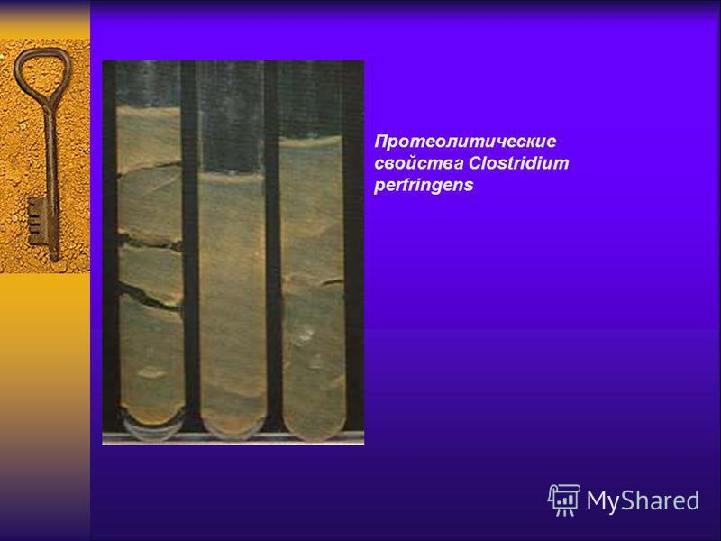 Протеолитические свойства Clostridium perfringens