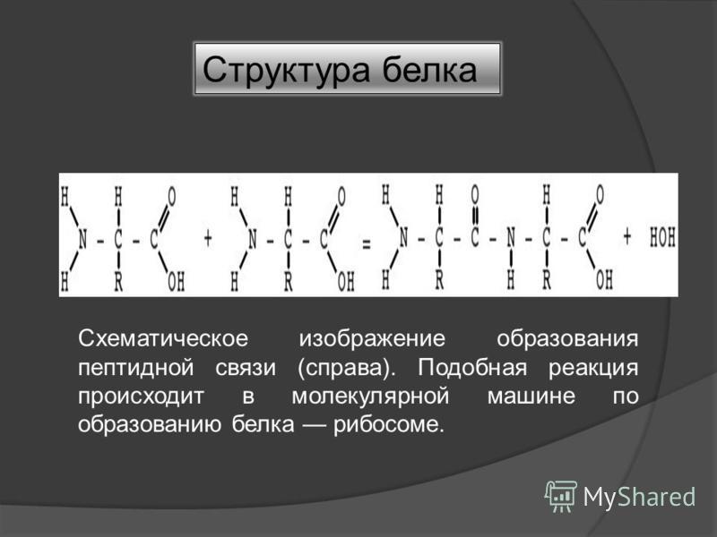 Структура белка Схематическое изображение образования пептидной связи (справа). Подобная реакция происходит в молекулярной машине по образованию белка рибосоме.