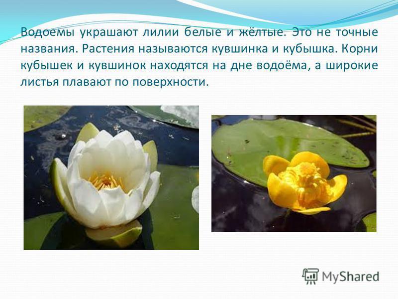 Водоемы украшают лилии белые и жёлтые. Это не точные названия. Растения называются кувшинка и кубышка. Корни кубышек и кувшинок находятся на дне водоёма, а широкие листья плавают по поверхности.
