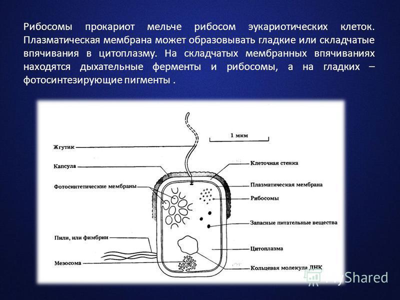 Рибосомы прокариот мельче рибосом эукариотических клеток. Плазматическая мембрана может образовывать гладкие или складчатые впячивания в цитоплазму. На складчатых мембранных впячиваниях находятся дыхательные ферменты и рибосомы, а на гладких – фотоси