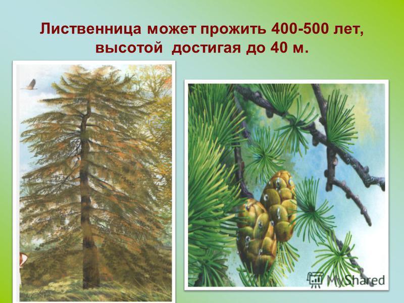 Лиственничные леса сменяются елью