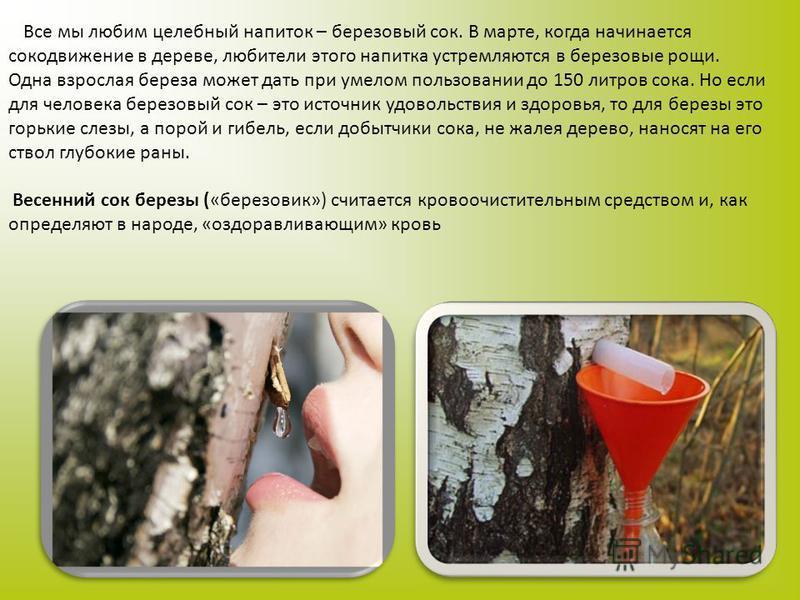 Все мы любим целебный напиток – березовый сок. В марте, когда начинается сокодвижение в дереве, любители этого напитка устремляются в березовые рощи. Одна взрослая береза может дать при умелом пользовании до 150 литров сока. Но если для человека бере