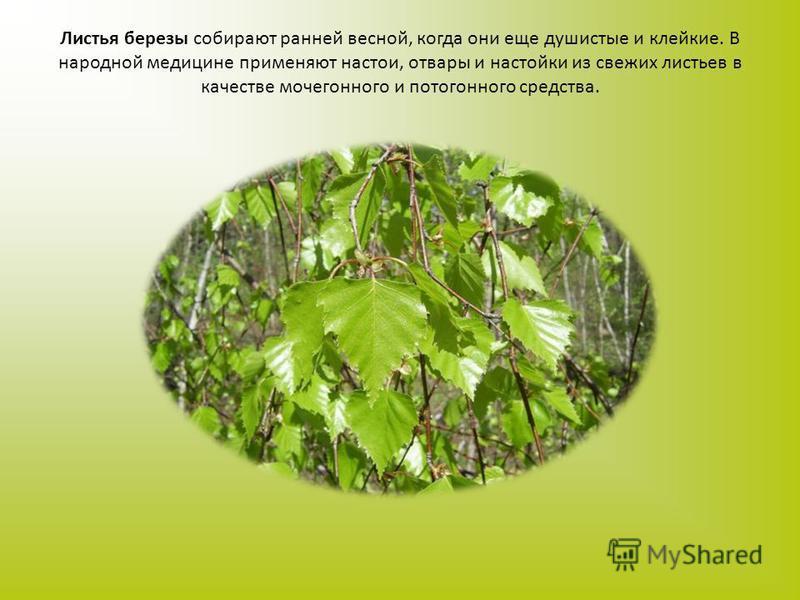 Листья березы собирают ранней весной, когда они еще душистые и клейкие. В народной медицине применяют настои, отвары и настойки из свежих листьев в качестве мочегонного и потогонного средства.