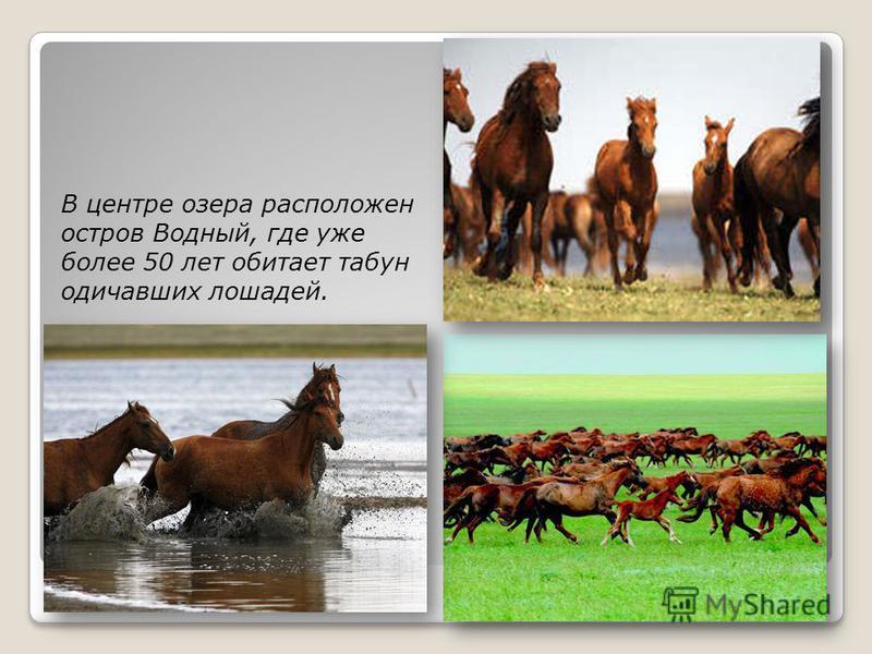 В центре озера расположен остров Водный, где уже более 50 лет обитает табун одичавших лошадей.
