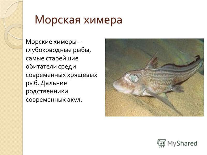 Морская химера Морские химеры – глубоководные рыбы, самые старейшие обитатели среди современных хрящевых рыб. Дальние родственники современных акул.