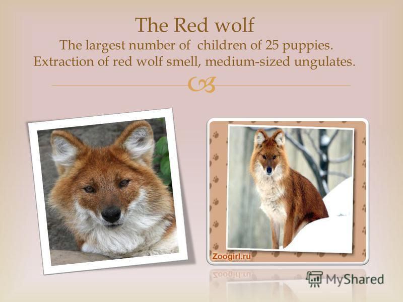 The Red wolf The largest number of children of 25 puppies. Extraction of red wolf smell, medium-sized ungulates.