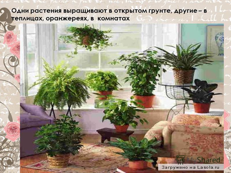 Одни растения выращивают в открытом грунте, другие – в теплицах, оранжереях, в комнатах