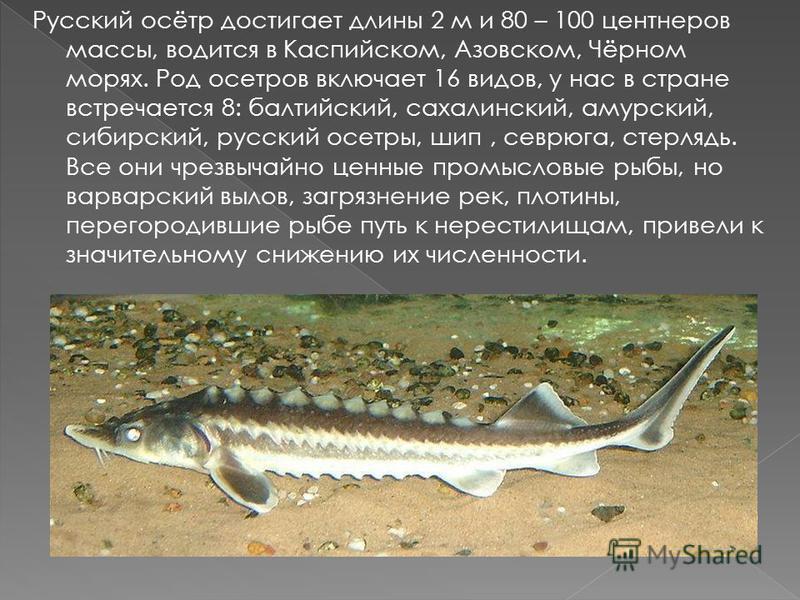 Русский осётр достигает длины 2 м и 80 – 100 центнеров массы, водится в Каспийском, Азовском, Чёрном морях. Род осетров включает 16 видов, у нас в стране встречается 8: балтийский, сахалинский, амурский, сибирский, русский осетры, шип, севрюга, стерл