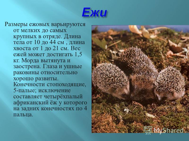 Размеры ежовых варьируются от мелких до самых крупных в отряде. Длина тела от 10 до 44 см, длина хвоста от 1 до 21 см. Вес ежей может достигать 1,5 кг. Морда вытянута и заострена. Глаза и ушные раковины относительно хорошо развиты. Конечности стопохо
