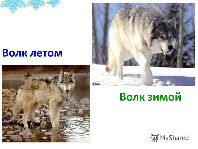 Волк летом Волк зимой