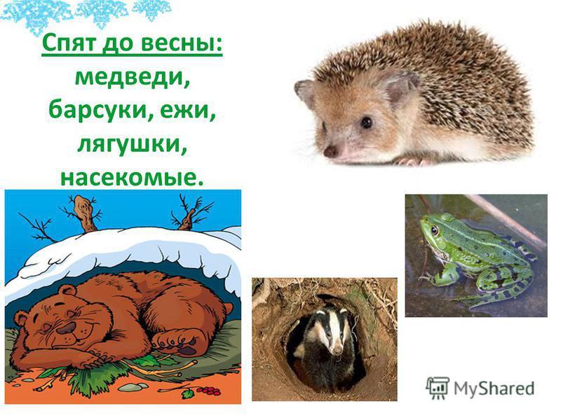 Спят до весны: медведи, барсуки, ежи, лягушки, насекомые.