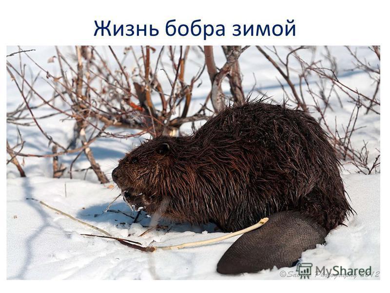 Жизнь бобра зимой