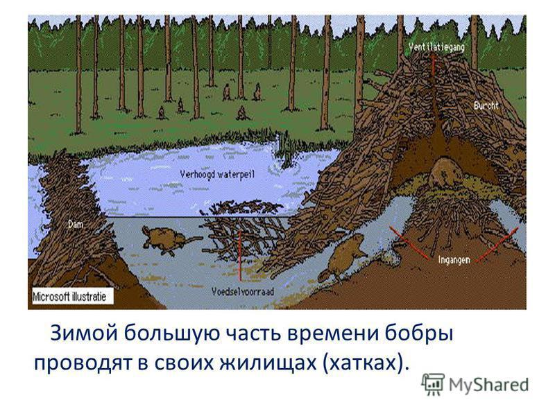 Зимой большую часть времени бобры проводят в своих жилищах (хатках).