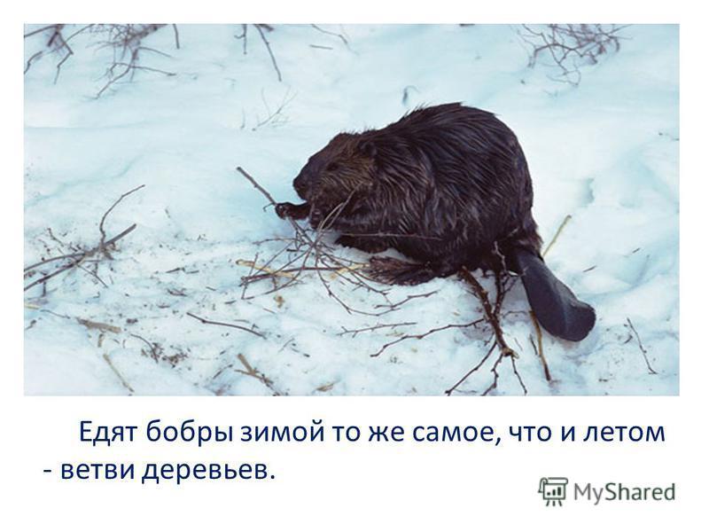 Едят бобры зимой то же самое, что и летом - ветви деревьев.