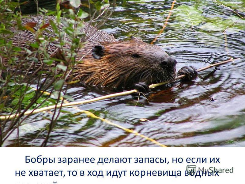 Бобры заранее делают запасы, но если их не хватает, то в ход идут корневища водных растений.