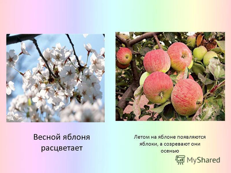 Весной яблоня расцветает Летом на яблоне появляются яблоки, а созревают они осенью