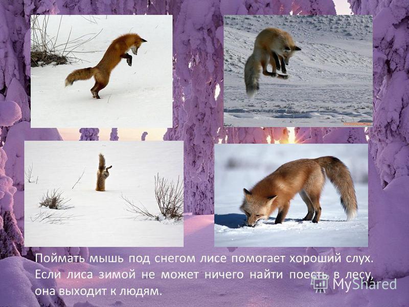 Поймать мышь под снегом лисе помогает хороший слух. Если лиса зимой не может ничего найти поесть в лесу, она выходит к людям.