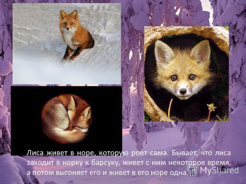 Лиса живет в норе, которую роет сама. Бывает, что лиса заходит в норку к барсуку, живет с ним некоторое время, а потом выгоняет его и живет в его норе одна.