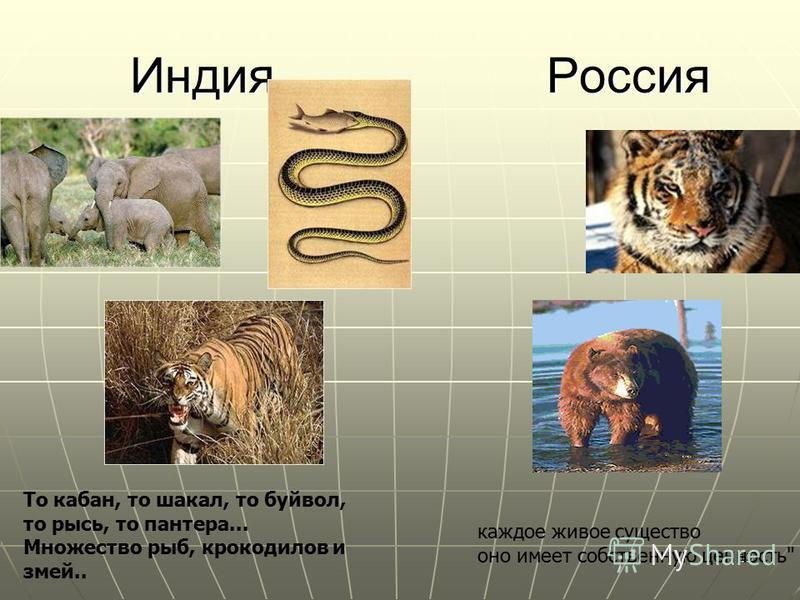 13 Индия Россия Индия Россия То кабан, то шакал, то буйвол, то рысь, то пантера... Множество рыб, крокодилов и змей.. каждое живое существо оно имеет собственную ценность.