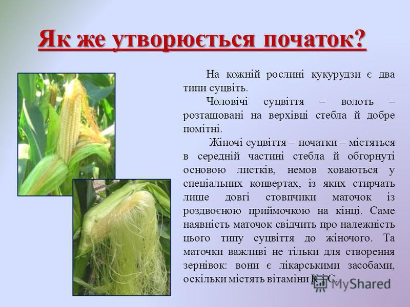 Як же утворюється початок? На кожній рослині кукурудзи є два типи суцвіть. Чоловічі суцвіття – волоть – розташовані на верхівці стебла й добре помітні. Жіночі суцвіття – початки – містяться в середній частині стебла й обгорнуті основою листків, немов