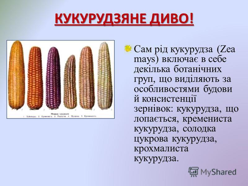 КУКУРУДЗЯНЕ ДИВО! Сам рід кукурудза (Zea mays) включає в себе декілька ботанічних груп, що виділяють за особливостями будови й консистенції зернівок: кукурудза, що лопається, кремениста кукурудза, солодка цукрова кукурудза, крохмалиста кукурудза.