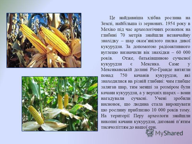 Це найдавніша хлібна рослина на Землі, найбільша із зернових. 1954 року в Мехіко під час археологічних розкопок на глибині 70 метрів знайшли незвичайну знахідку – шар окамянілого пилка дикої кукурудзи. За допомогою радіоактивного вуглецю визначили ві