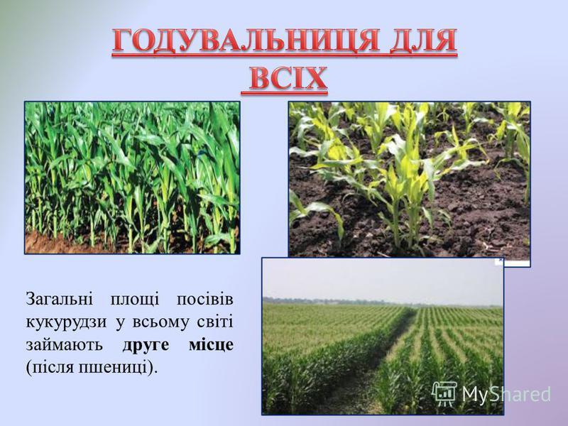 Загальні площі посівів кукурудзи у всьому світі займають друге місце (після пшениці).