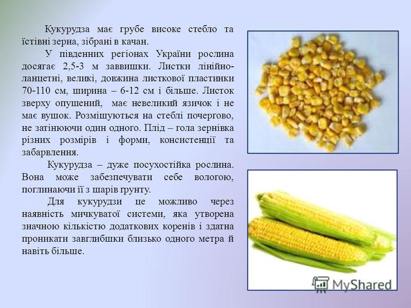 Кукурудза має грубе високе стебло та їстівні зерна, зібрані в качан. У південних регіонах України рослина досягає 2,5-3 м заввишки. Листки лінійно- ланцетні, великі, довжина листкової пластинки 70-110 см, ширина – 6-12 см і більше. Листок зверху опуш