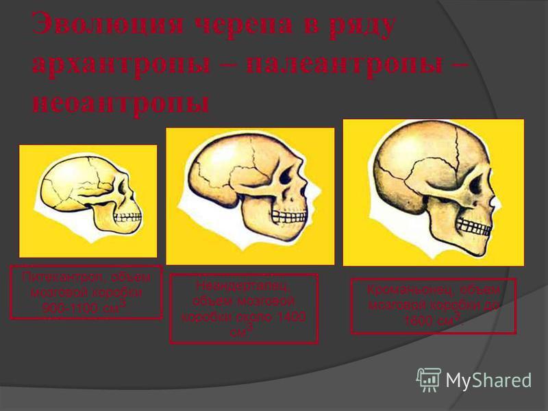 Эволюция черепа в ряду архантропы – палеоантропы – неоантропы Питекантроп, объем мозговой коробки 900-1100 см 3. Неандерталец, объем мозговой коробки около 1400 см 3. Кроманьонец, объем мозговой коробки до 1600 см 3.