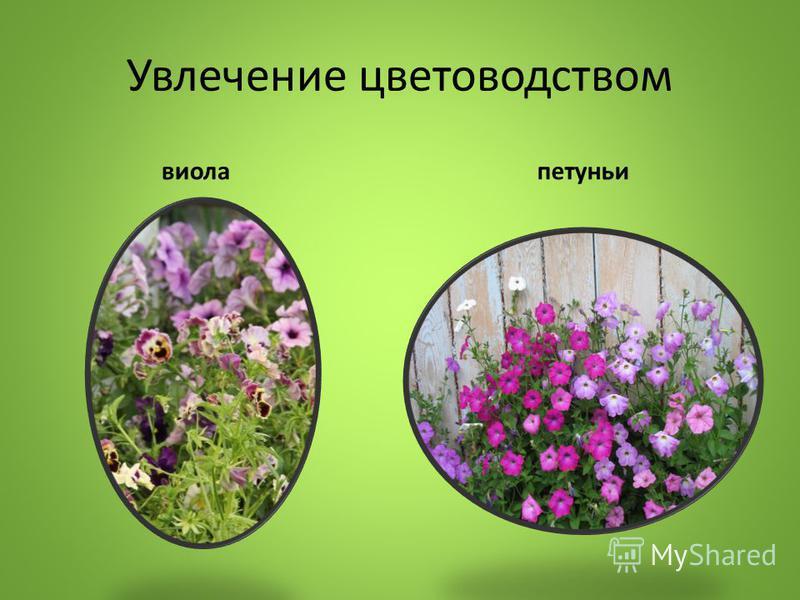 Увлечение цветоводством виола петуньи